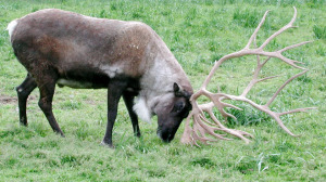 Caribou, also known as reindeer