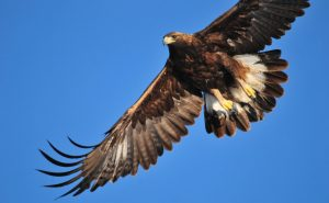 Golden eagle.