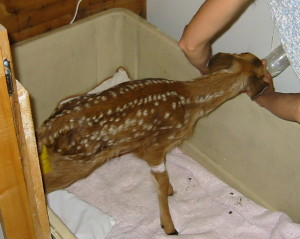 Fawn hit by car, recovering
