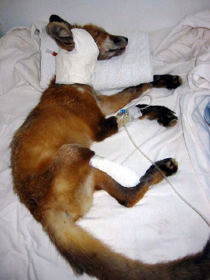 Fox recovering after surgery